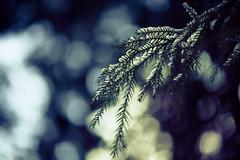 Happy New Year (moaan) Tags: life winter snow pinetree digital zeiss hope branch dof bokeh live 100mm utata snowfall nagano ze f20 makroplanar 2013 inlife livefortoday hopefortomorrow canoneos5dmarkiii zeissmakroplanart2100ze carlzeissmakroplanar100mmf20ze jigokudanispa