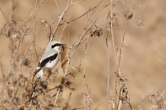 Great grey shrike (Lanius excubitor) with prey (Fal_B) Tags: bird bayern bavaria grey wildlife great vogel songbird shrike laniusexcubitor lanius greatgreyshrike wrger excubitor singvogel raubwrger wintergast wintervogel