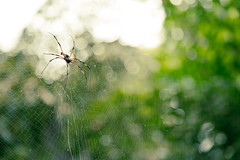 Big spider (lunarlynx) Tags: travel summer vacation inspiration travelling green nature beautiful closeup forest insect island spider amazing web spiderweb insects tropical destination tropic langkawi discover