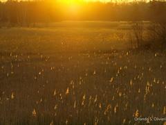 Gli spiriti della palude - Swamp's spirits (Orlando S. Olivieri) Tags: orange sunshine lights tramonto olympus e swamp luci fires palude arancione 620
