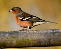 tophill low Chaffinch (nye.whittaker) Tags: me2youphotographylevel1 freedomtosoarlevel1birdsonly freedomtosoarlevel3birdsonly freedomtosoarlevel2birdsonly