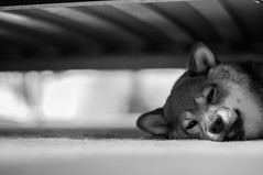 Under the Bed Blues 8/365 (Ashurii Aren) Tags: blackandwhite bw dog 50mm nikon day dof bokeh bedtime 365 shibainu naptime underthebed  8365 d5000 bedslats dogunderbed 3652013 365the2013edition
