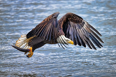 Fresh out of the River (Todd Ryburn) Tags: nature canon fishing eagle wildlife baldeagle iowa raptor mississippiriver birdsinflight bif baldeagles illlinois 2013 quadcites canon800mmf56l canon1dx