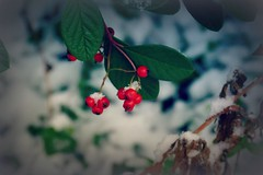 christmas. (Tildaa22) Tags: christmas trees winter red plants white plant color colour tree colors beauty leaves leaf lomo berry colorful colours berries young multicoloured colored colourful coloured multi wint youngphotographers picmonkey