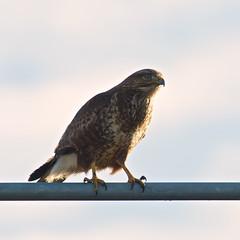 the beak on the bar (blackfox wildlife and nature imaging) Tags: wales raptor buzzard birdsofprey buteobuteo deeside nikoncamera commonbuzzard nikonlens