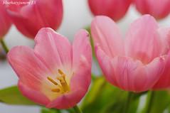 Pink Tulips #7 (bluehazyjunem) Tags: pink tulips jan tripod livingroom mid tamron90 2013