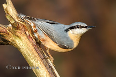Nuthatch (Nigel Dell) Tags: winter birds flickr wildlife places hampshire fleet nuthatch fsg ngdphotos