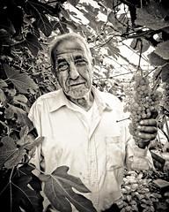 Raffale a'i winllan (Sian Bowi) Tags: italian wine cymru grapes sirbenfro gwin raffale grawnwin sianbowi eidalwr tremarchog