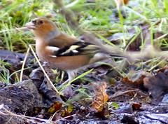 Chaffinch Ground feeding (Rovers number 9) Tags: winter england cold birds minolta bokeh wildlife sony january lancashire chaffinch a65 2013 biggardenbirdwatch euxton minoltaaf100200f45 bkhq sonya65 jan2013
