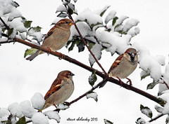 Snow Birds (shelshots) Tags: winter snow cold male bird nature female sparrow housesparrow passerdomesticus coth supershot avianexcellence 10nw 5wonderwall sunrays5