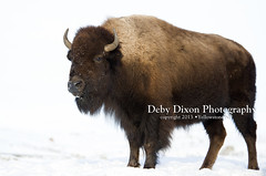 Bison cow (Deby Dixon) Tags: winter snow nature cows wildlife bull yellowstonenationalpark yellowstone wyoming bison calves debydixonphotography