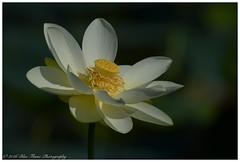 Lotus Blossom #1  (Rodolfo Quinio) Tags: lotus nikond500 swanharborfarm havredegrace harfordcounty bloom marsh wetlands nature