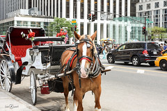 Horse Drawn Carriage (berXpert) Tags: newyork horsedrawncarriage applestore streets horsecarriage
