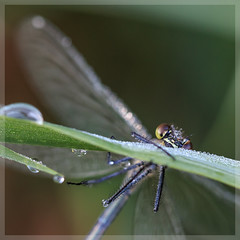 Prachtlibelle_4671 (uwe_cani) Tags: gebnderteprachtlibelle prachtlibelle libelle insekt bach gras makro natur outdoor fauna deutschland nrw rur