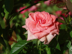 DSC00328 (gregnboutz) Tags: flower flowers bloomingflower bloomingflowers macro macros macroflower macroflowers colorful colorfulflower colorfulflowers rose roses bloomingrose bloomingroses brightrose colorfulrose colorfulroses macrorose macroroses pink pinkflower pinkflowers pinkrose pinkroses