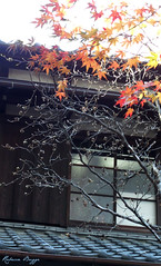 A last touch of autumn (DameBoudicca) Tags: tokyo tokio  japan nippon nihon  japn japon giappone shiba     joushouin temple tempel tempio templo buddhism buddhismus budismo bouddhisme buddhismo   minatoku  minato leaves lv bltter hoja feuille foglia  tree trd baum arbre rbol albero  japanesemaple japansklnn fcherahorn arcejaponspalmeado arcepalmadojapons arcejapons arcepolimorfo acerpalmatum rablepalm rablejaponaislisse acerogiapponese aceropalmato    momiji   window fnster fenster fentre ventana