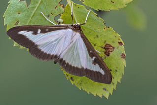 Boxwood moth - Buxusmot