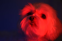 15817 - Red-Kira (Diego Rosato) Tags: kira cani animali dogs pets animals nikon d700 85mm kenko telconverter red light luce rossa gimp