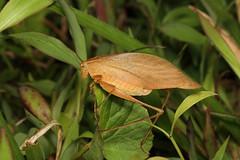 Orthoptera sp. (Katydid) - Costa Rica (Nick Dean1) Tags: orthoptera grasshopper katydid insect insecta animalia arthropoda arthropod hexapoda hexapod lakearenal costarica guanacaste
