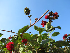 Thursday, 8th, Blue sky and red berries IMG_5613 (tomylees) Tags: essex morning autumn september 2016 8th thursday garden red berries honeysuckle