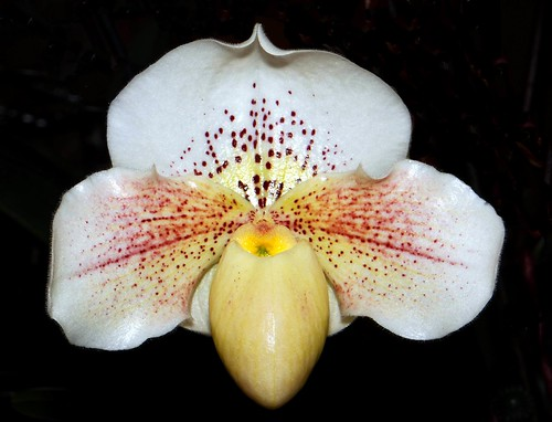 ORCHID  #24