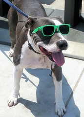 Beach Babe Watcher (moonjazz) Tags: sunglasses pet smile green style humor dog perro funny happy animals bestfriend chillin dude california white black paws terrier hangingout glasses nose