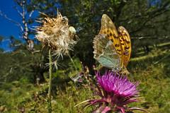 Argynnis sp. (AIIex) Tags: farfalla laowa nikon d90 cardo wideangle macro grandangolo darktable