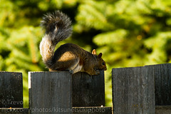 Squirrel! 1 (Kenjis9965) Tags: squirrel canon eos 7d sigma 150600 f563 c contemporary fence sitting tomato eating snacking hiding rubbing face being cute animal mammal