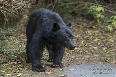 Vancouver Island Black Bear - Ursus americanus vancouveri (Freshairphotography) Tags: vancouverisland ursusamericanusvancouveri vancouverislandblackbear blackbear black bear wilderness wildanimal wild gorgeous animal forest beauty bc canada coast nature westcoast