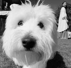 Pablo the Coton de Tulear (rick.midgley123) Tags: cotondetulear dog white blackandwhite cute sweet fuji xt1 puppy nosey