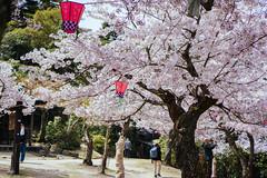 (tiagoalexandresilva) Tags: hanami sakura cherryblossom hiroshima miyajima itsukushima asia honshu japan sonya6000