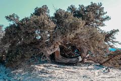 KAZ_4614 (Kaze of Tzertzelos) Tags: chrissi creta gaidouronisi ceder tree ierapetra