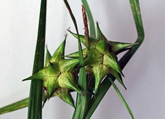 Morgenstern Segge (ingrid eulenfan) Tags: macromondays makro macro pflanze gras segge careygrayi fruchtstnde star stern stars morgenstern
