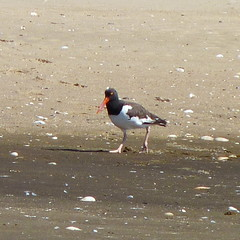 American Oystercatcher (Dendroica cerulea) Tags: americanoystercatcher haematopuspalliatus haematopus haematopodidae charadrii charadriiformes aves bird shorebird oystercatcher beach summer sandyhook gatewaynationalrecreationarea monmouthcounty nj newjersey