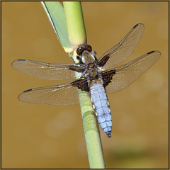 Broad-bodied Chaser (image 2 of 2) (Full Moon Images) Tags: rspb strumpshaw fen wildlife nature reserve norfolk insect macro broadbodied chaser dragonfly male