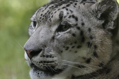 Proud... (carlo612001) Tags: leopard leopardo delle nevi snowleopard eyes occhi sguardo orgoglio proud felini felines feline predatore predator predators