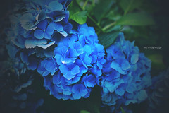 Blue Hydrangeas (Kelly McCarthy Photography) Tags: flowers flower hydrangea hydrangeas blue nature floral green catchycolorsblue plant detail
