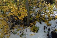 Fall Colors & Snow (jlrminer) Tags: nevada nikon rubies rubymountains