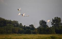 Evening Flight (Bill Steffen) Tags: ccnwr greategrets flight field sundown sunreflection