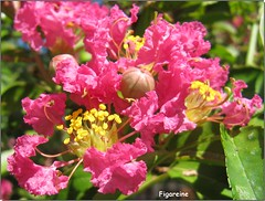 Lagerstroemia ou lilas des Indes (Figareine- Michelle) Tags: lagerstroemia lilas indes alittlebeauty coth
