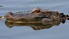 Stick-Biting Gator (jrussell.1916) Tags: alligator wildlife nature eyes reflections water teeth northcarolina canon400mmf56lusm
