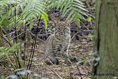 Little Bobcat (Andrew's Wildlife) Tags: bobcat