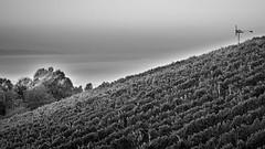 Misty morning in the vineyard (a.sekkas) Tags: nikkor50mm118g nikon d5300 klch klchberg austria asekkas klapotetz bw hdr styria vineyard monochrom nikonflickraward sterreich steiermark