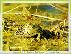 American Bullfrog (NancySmith133) Tags: americanbullfrog amphibians lakeapopkanorthshorewildlifedrive centralfloridausa orangecountyfl wetlands