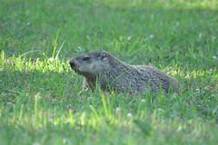 Groundhog - Marmota monax - Campbell County, Kentucky, USA - September 7, 2016 (mango verde) Tags: groundhog marmotamonax sciuridae marmota monax woodchuck marmot fredericklandingpark campbellcounty kentucky usa