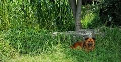 CUIDANDO LA MILPA. (FOTOS PARA PASAR EL RATO) Tags: cdmx tepepan mascotas verde rural dogs perros