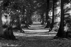 Allee (Eric Borowitz) Tags: bume allee schwarzweis fluchtpunkt forest blackwhite