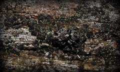 Numinbah forest jumpers (dustaway) Tags: arthropoda arachnida araneae araneomorphae salticidae euophryinae jumpingspiders numinbahforestreserve nerangrivervalley sequeensland queensland australia australianspiders maratus spinne