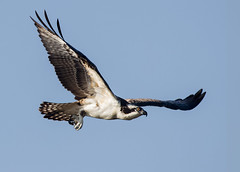 Osprey Off! (Patricia Ware) Tags: ballonawetlands birdsinflight california canon ef400mmf56lusm osprey pandionhaliaetus playadelrey httppwarezenfoliocom 2016patriciawareallrightsreserved marinadelrey unitedstates us specanimal