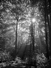 Fairytale Forest II (judithrouge) Tags: light ray rayoflight lichtstrahl strahl licht sun sunbeam forest wood sonne trees wald bume gegenlicht contrejour lichtstimmung mood schwarzweis blackandwhite sw bw